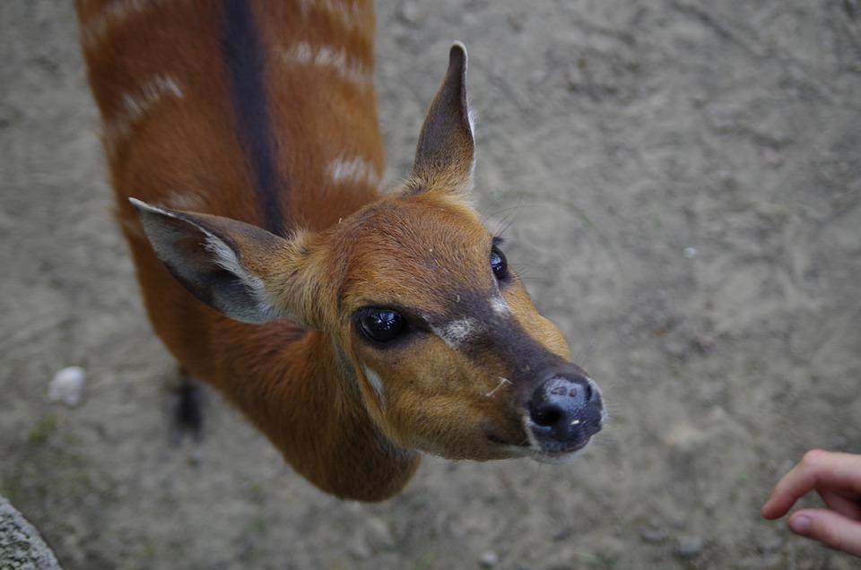Semi-aquatic Antelopes, Antelope, Contact, Animal