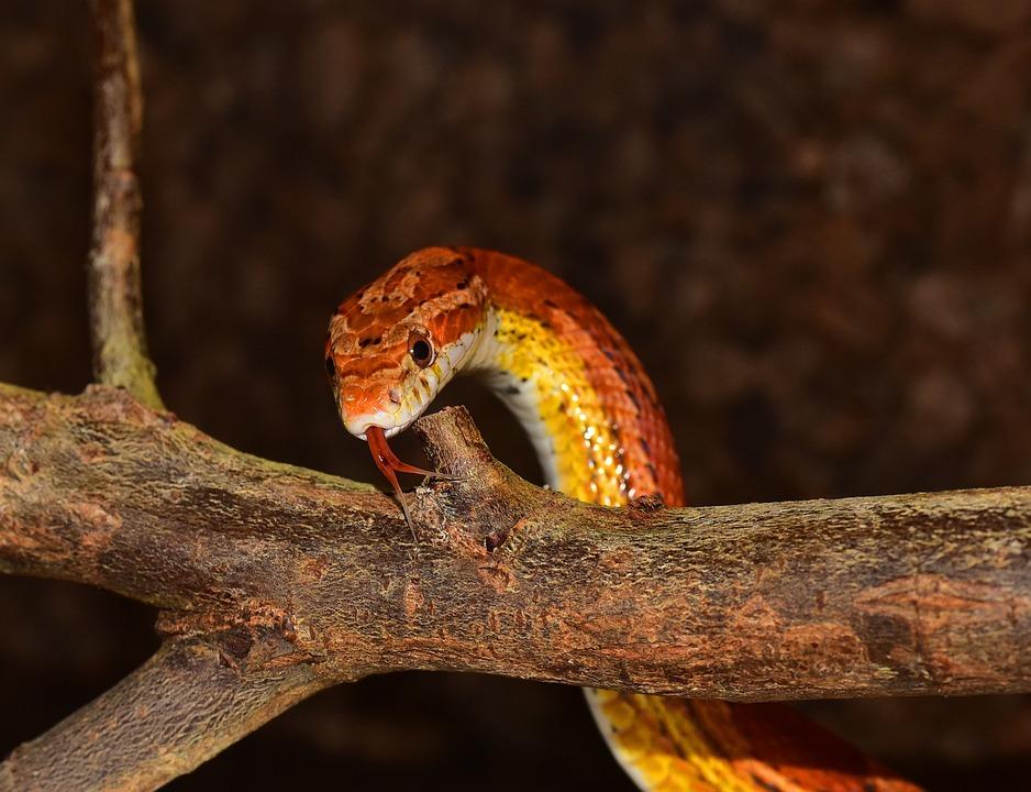 Animal World, Corn Snake, Nature, Animal, Reptile