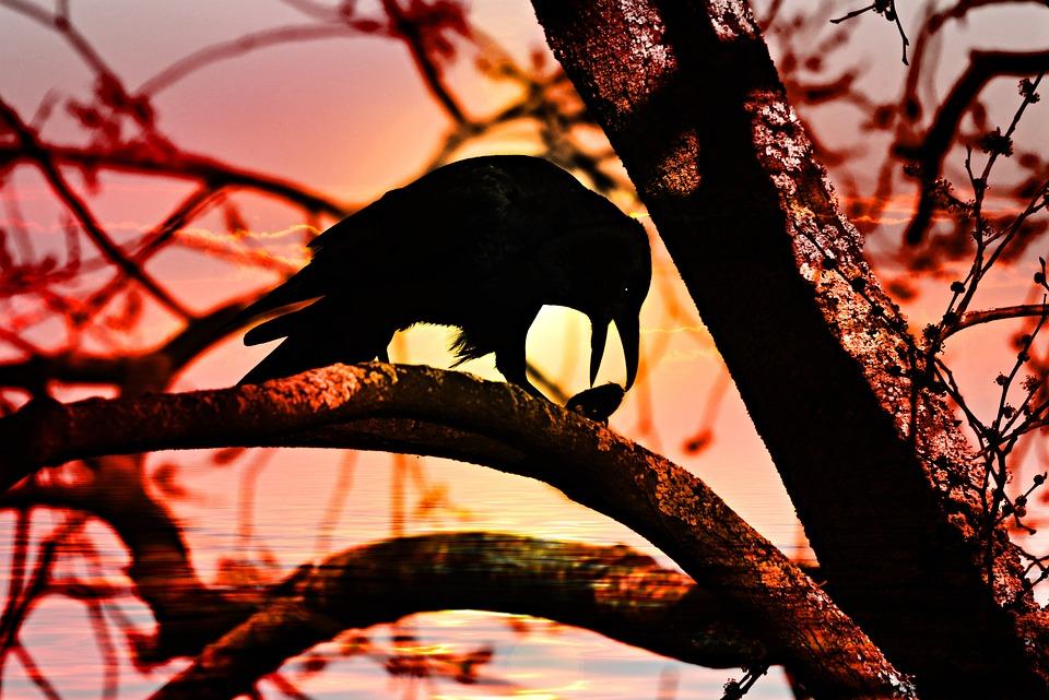 Crow, Bird, Corvus, Animal, Wildlife, Silhouette, Beak