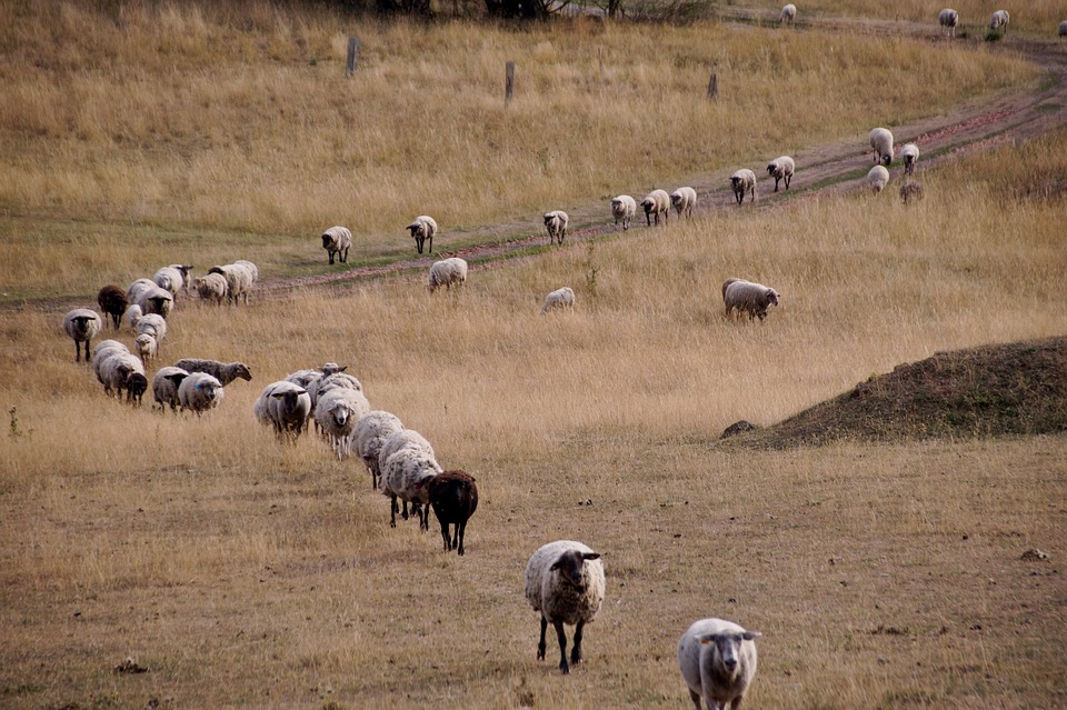 Sheep, Counting, Home, Animal, Wave, Evening, Return