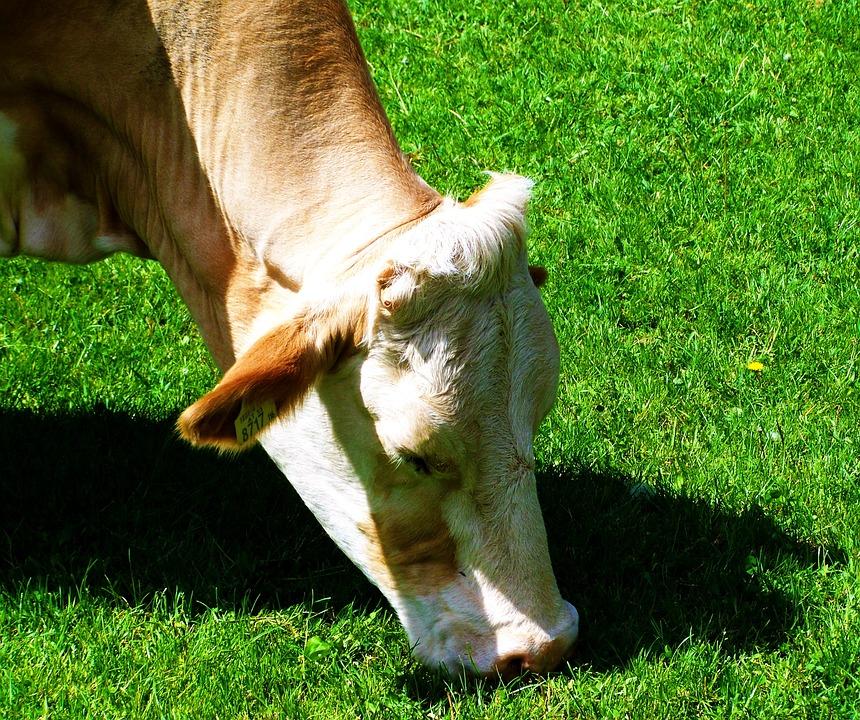 Cow, Green Pastures, Animal