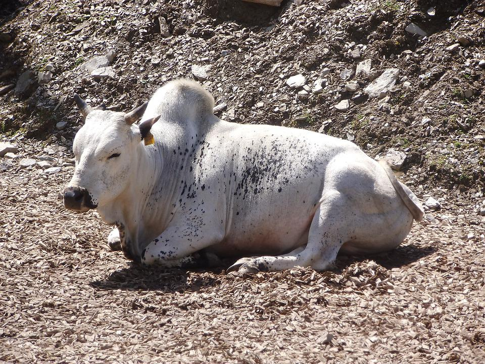 Cow, White Cow, Animal, White, Petting Zoo, Zoo, Summer