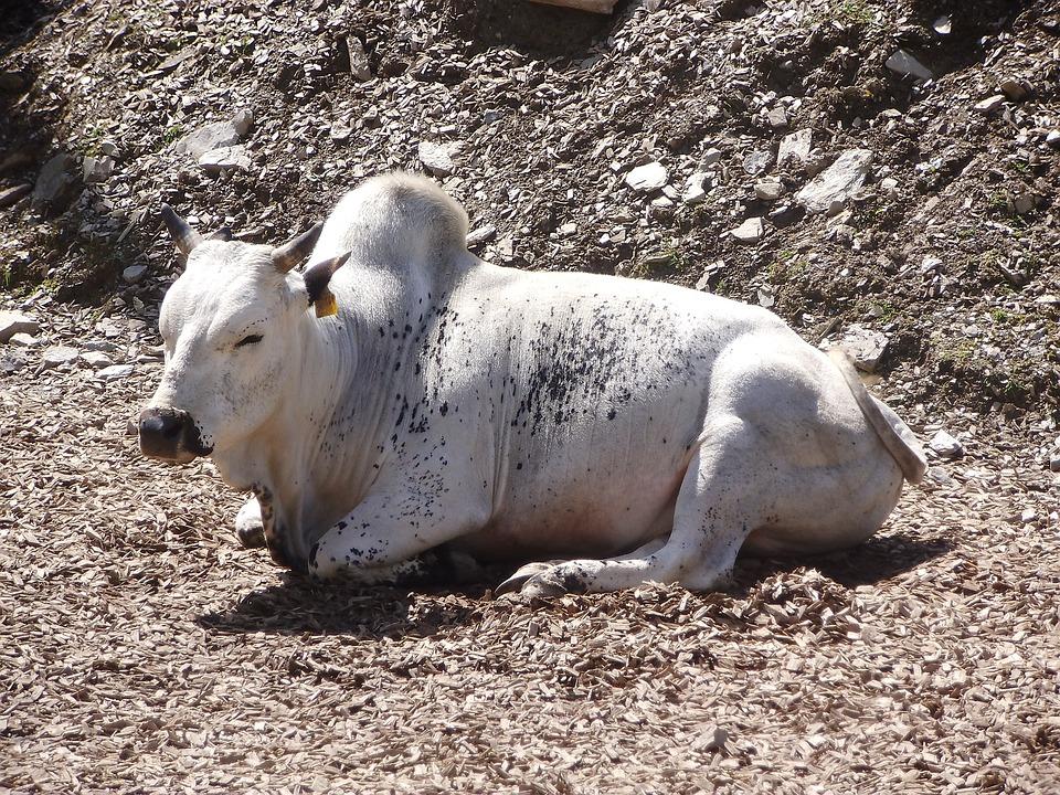 Cow, White Cow, Animal, White, Petting Zoo, Zoo, Summer