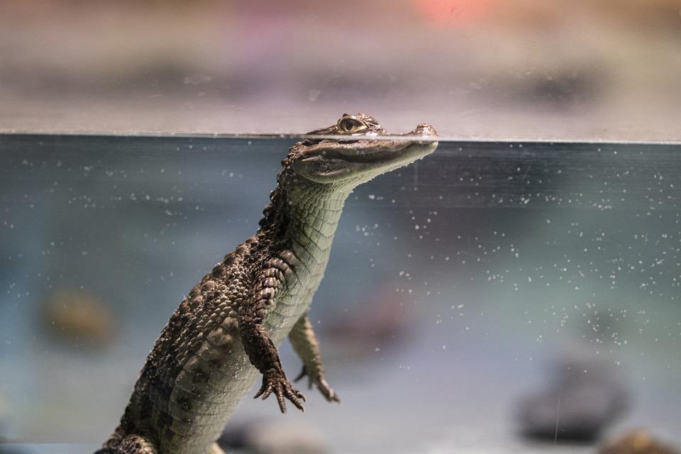 Crocodile, Reptile, Water, Animal