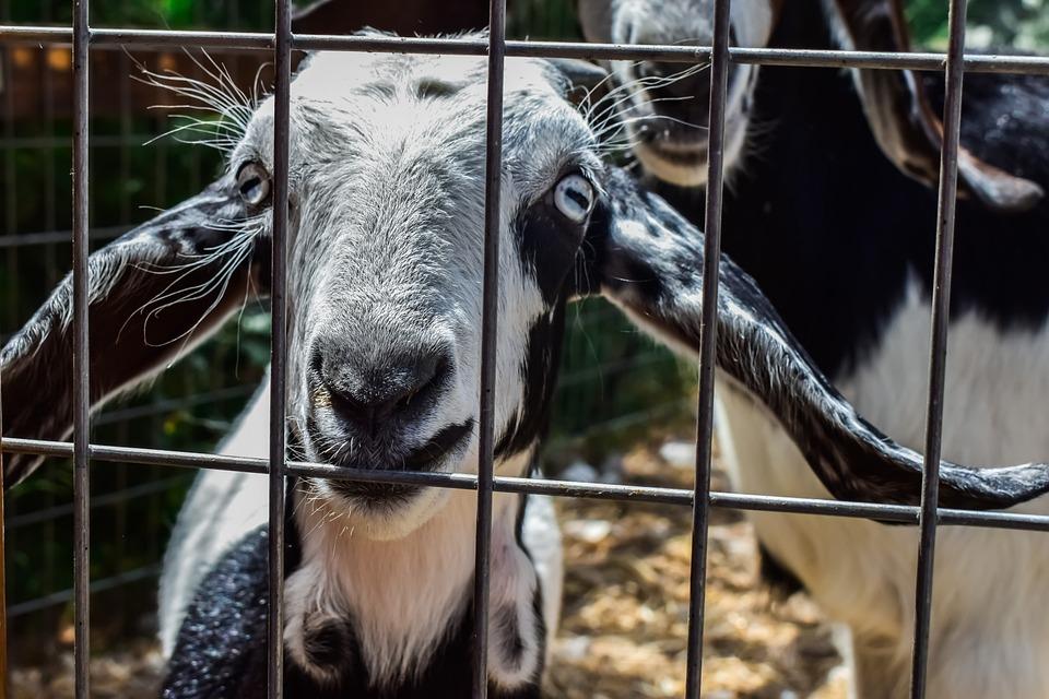Goat, Eyes, Curiosity, Animal, Mammal, Farm, Livestock