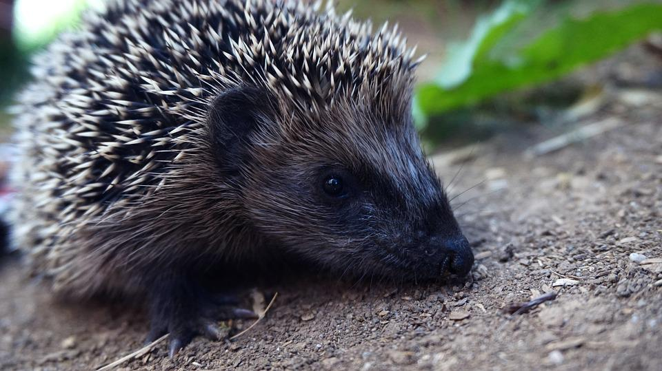 Hedgehog, Animal World, Nature, Animal, Cute, Spur