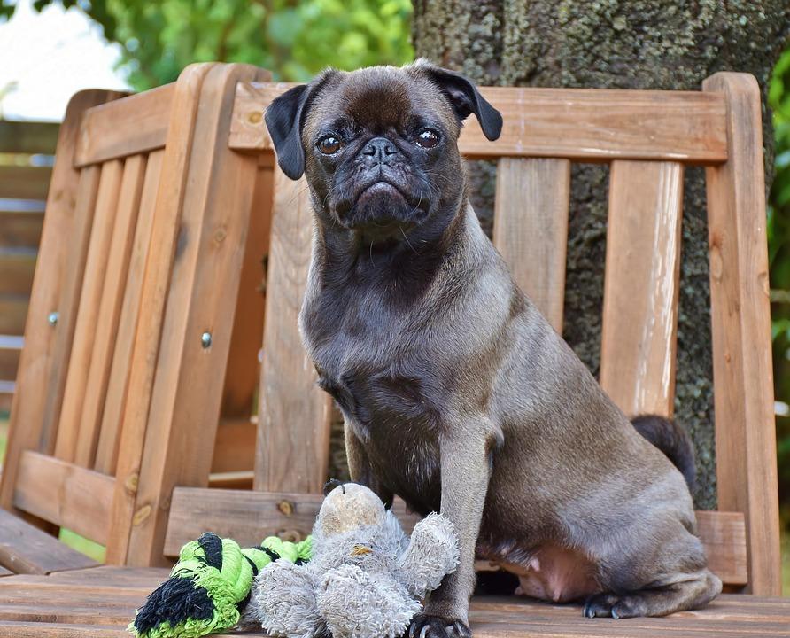 Pug, Dog, Purebred Dog, Dear, Silver, Animal, Cute, Pet