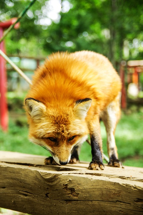 Animal, Fox, Cute