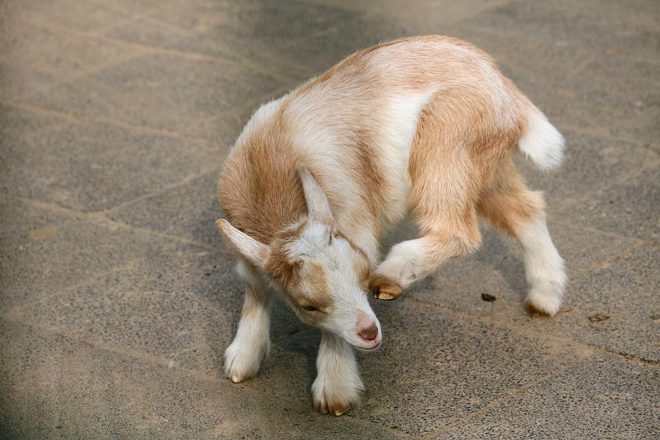 Animal, Mammal, Goat, Cute, Pet, Farm, Petting Zoo