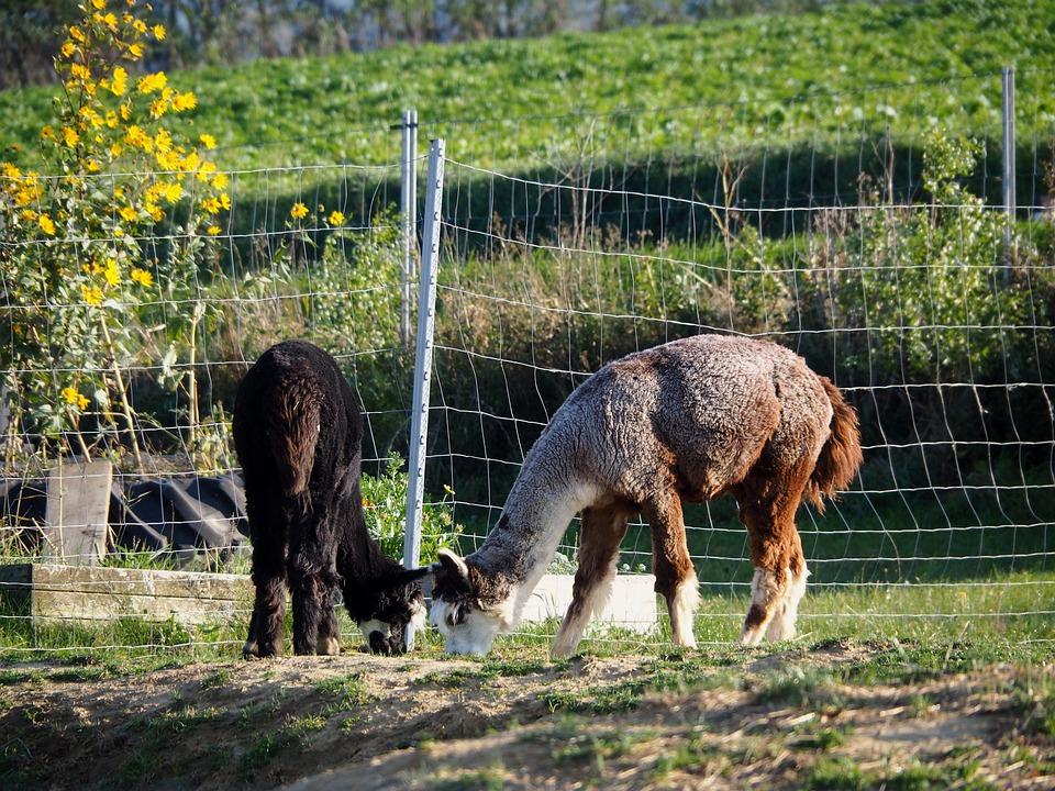 Lama, Animal, Cute, Animal Welfare, Fond Of Animals