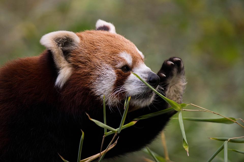 Animal World, Animal, Mammal, Nature, Cute, Red Panda