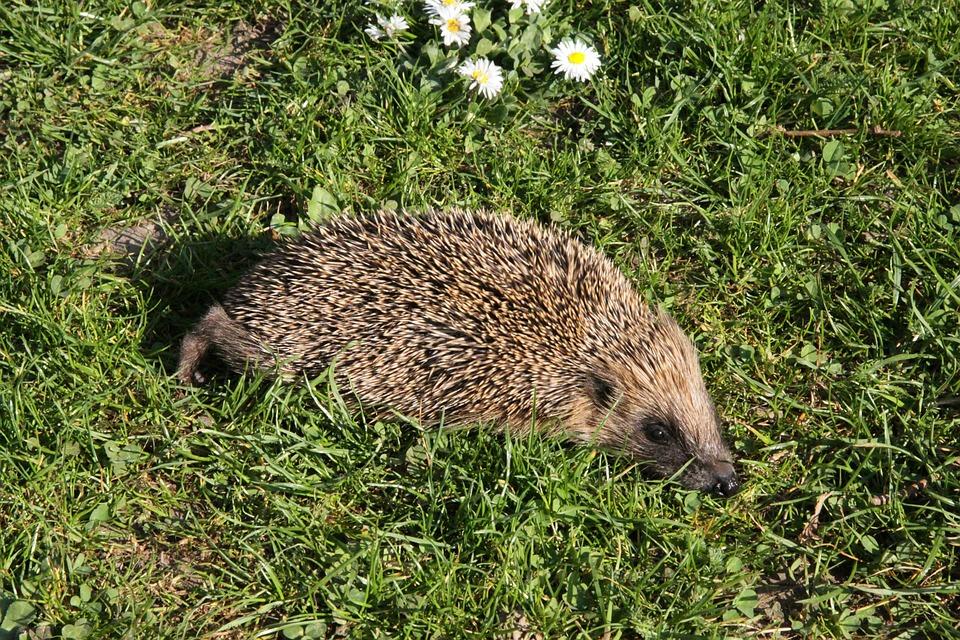 Hedgehog, Nature, Animal, Spur, Cute, Animal World
