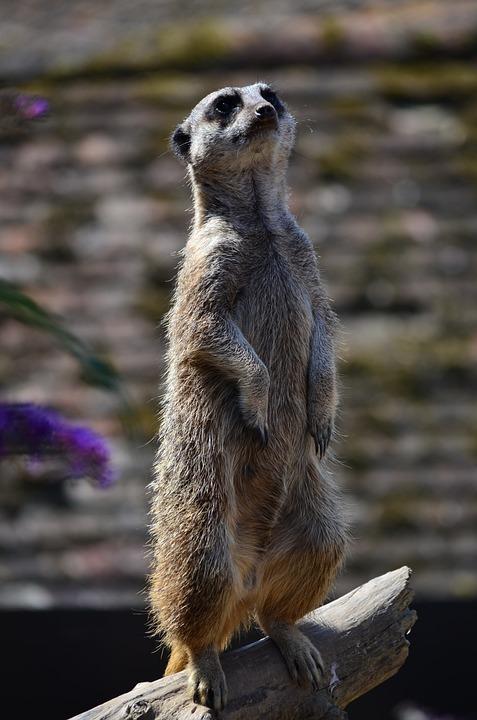 Wildlife, Mammal, Cute, Nature, Animal, Meerkat, Zoo