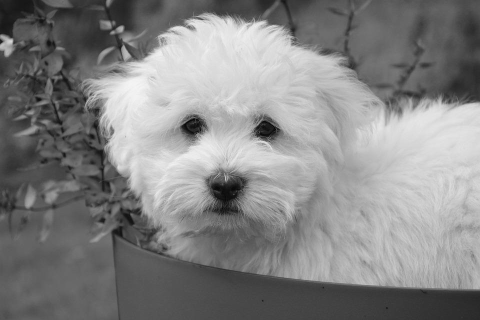 Dog, Puppy, Petit, Cotton Tulear, Animal, Soft, Cute