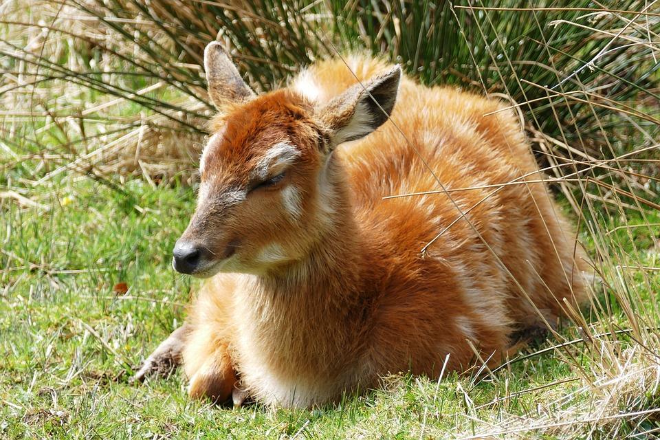 Deer, Young, Red, Animal, Wildlife, Nature, Mammal