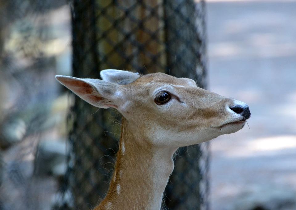Red, Deer, Doe, Zoo, Animal