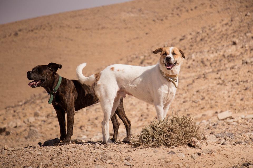 Dogs, Desert, Sun, Animal, Nature, Pet, Sand, Cute