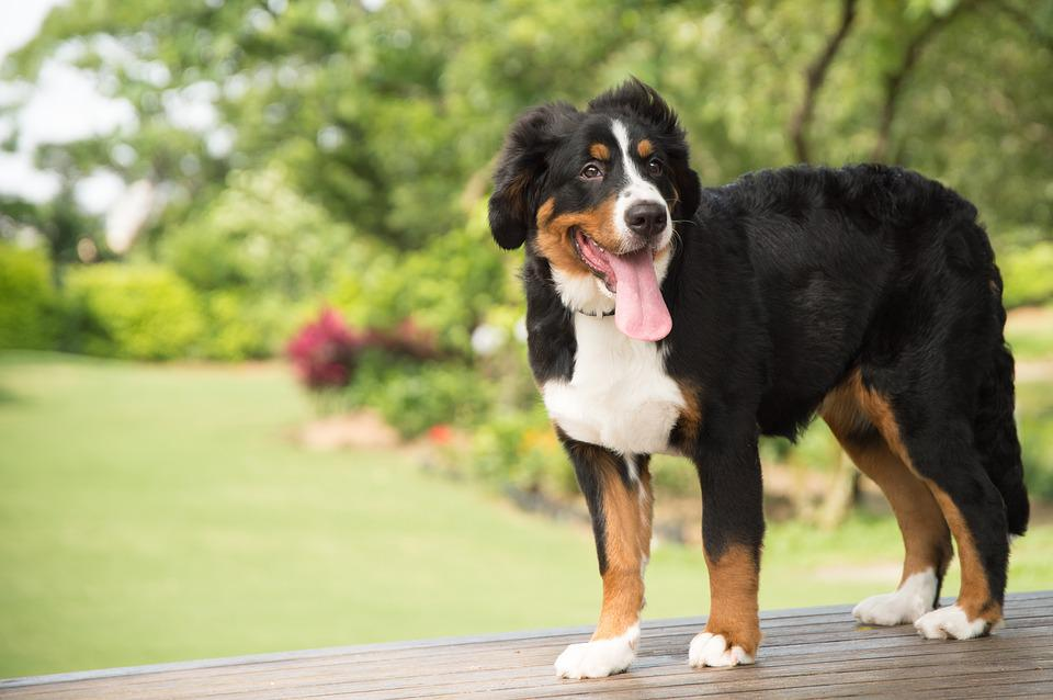 Animal, Dog, Bernese Mountain Dog