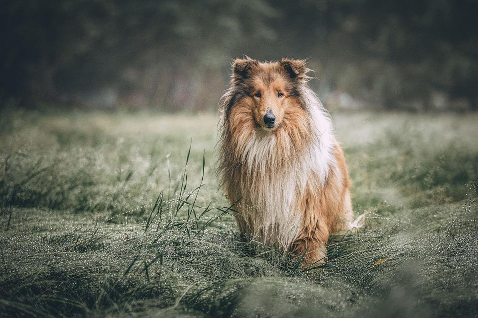 Meadow, Dog, Rough Collie, Animal, Domestic Dog, Canine