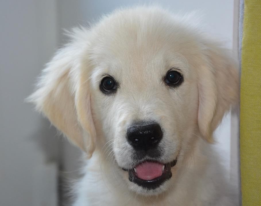 Dog, Dog Golden Retriever, Portrait, Animal, Pet Dog