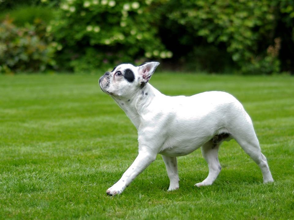 Dog, French Bulldog, Walk, Grass, Animal