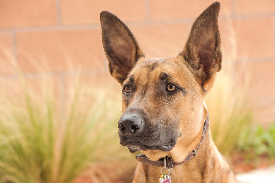 Malinois, Dog, Belgian Malinois, Shepherd, Animal, Cute