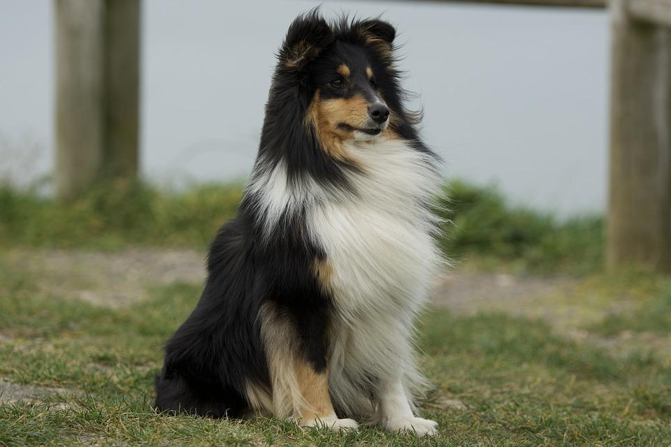 Dog, Shetland Sheepdog, Canine, Sitting, Animal, Pet