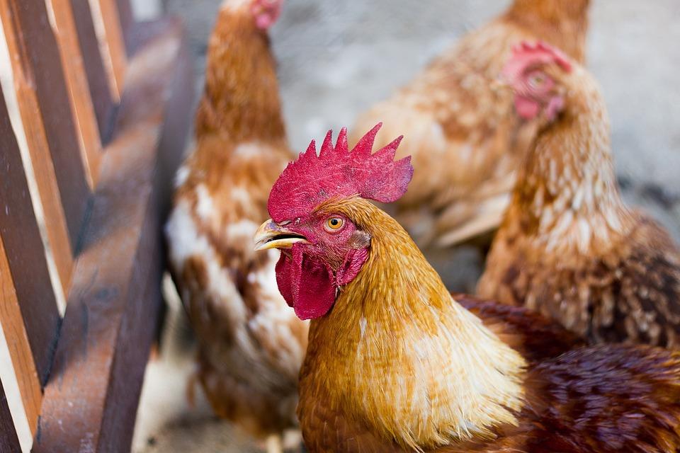 Chicken, Domestic Animal, Hen, Poultry, Animal, Farm