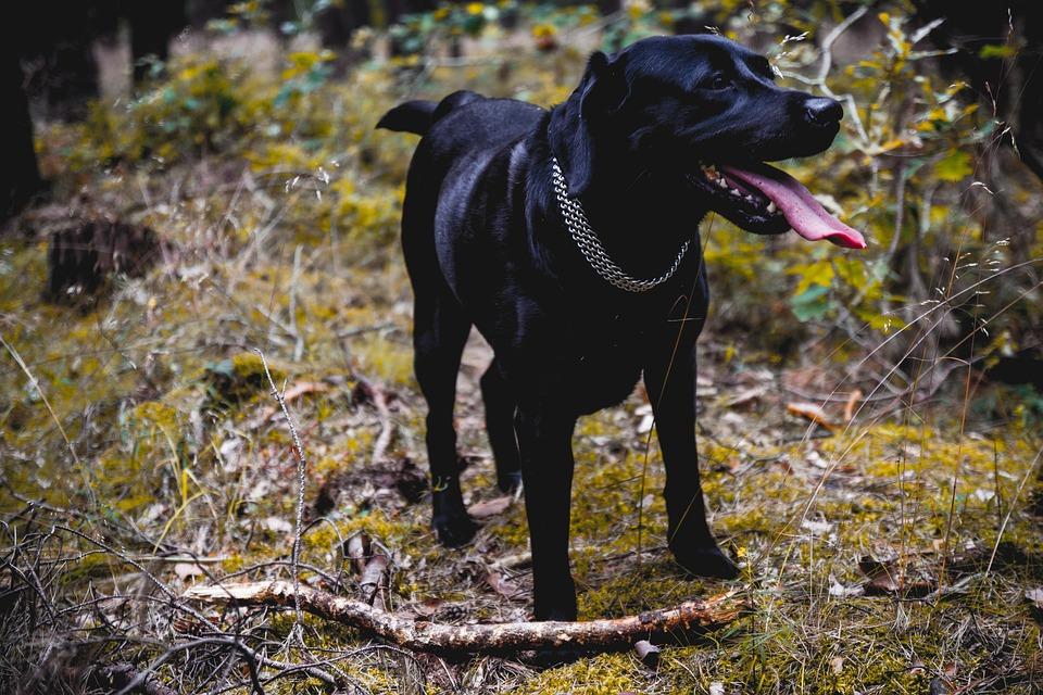 Dog, Labrador, Lab, Black, Animal, Pet, Cute, Domestic
