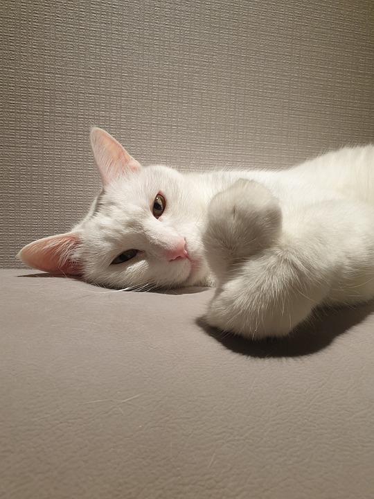 Cat, Pet, Animal, White Cat, Domestic Cat, Feline