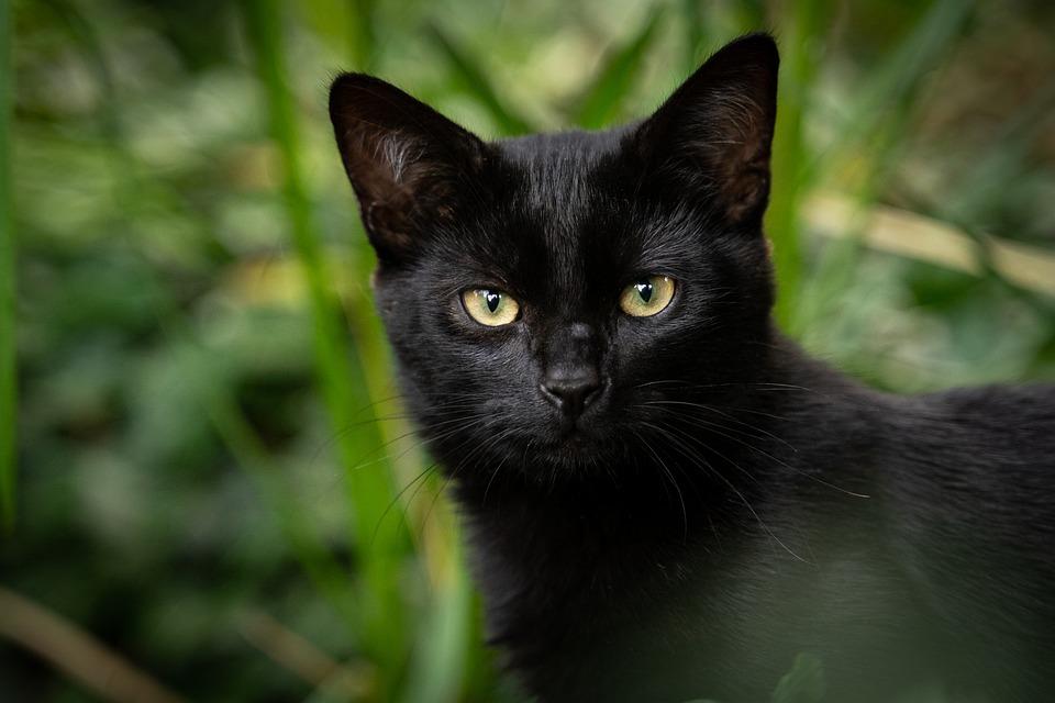 Cat, Black Cat, Animal, Pet, Domestic Cat, Feline