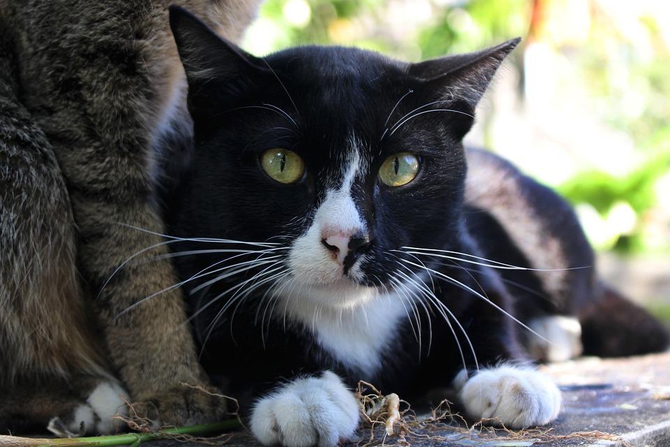 Cat, Whiskers, Domestic, Animal, Pet, Feline, Mammal