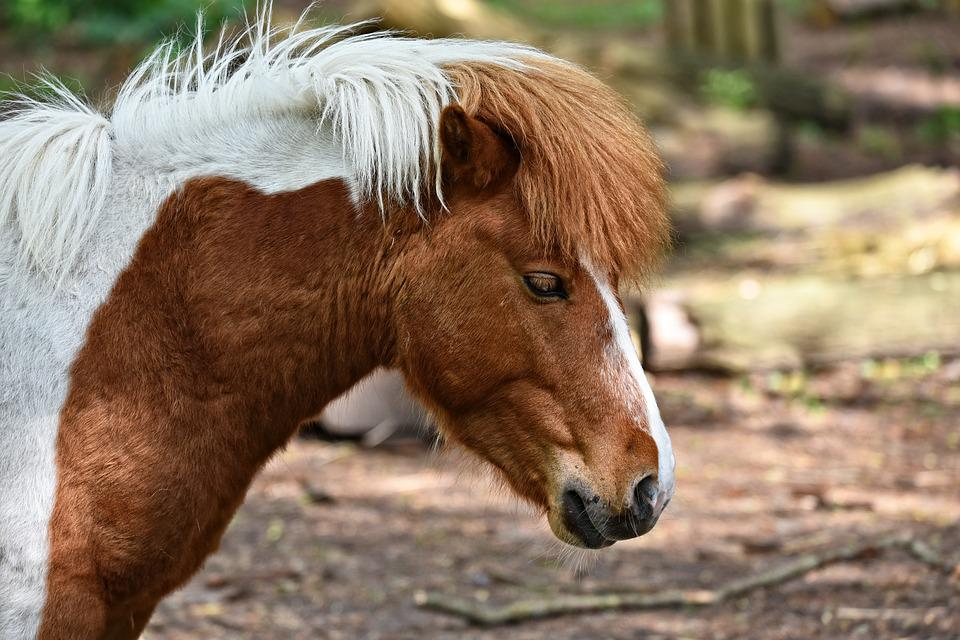 Horse, Animal, Mammal, Equine, Domestic, Pony, Mane