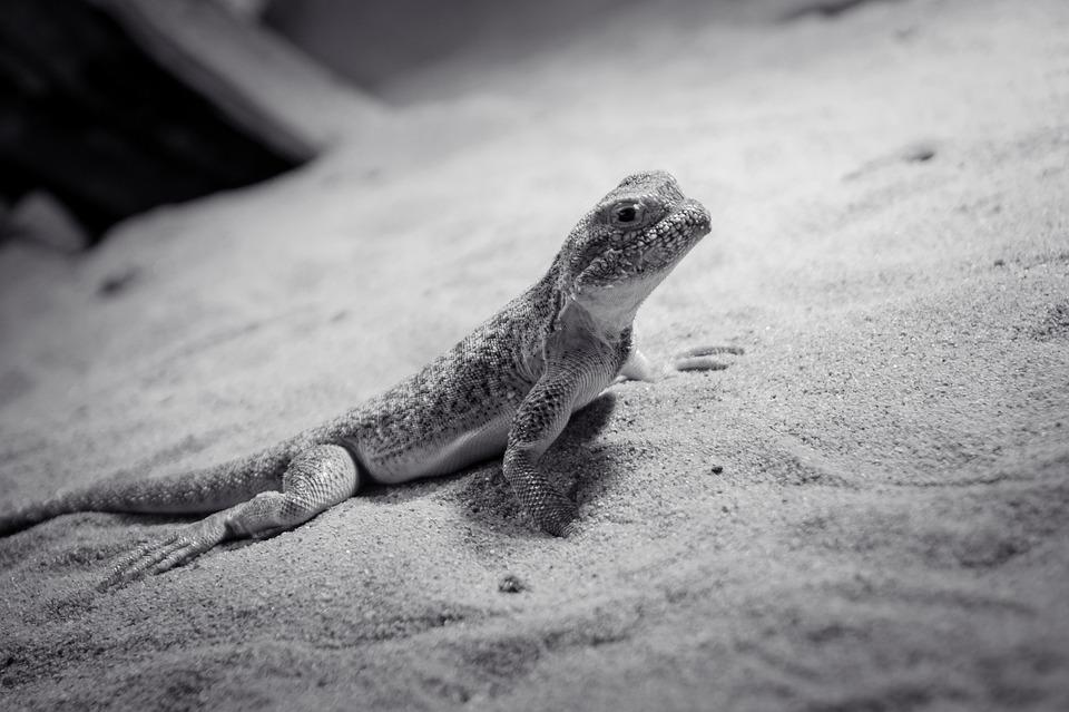Lizard, Animal, Reptile, Creature, Dragon, Iguana