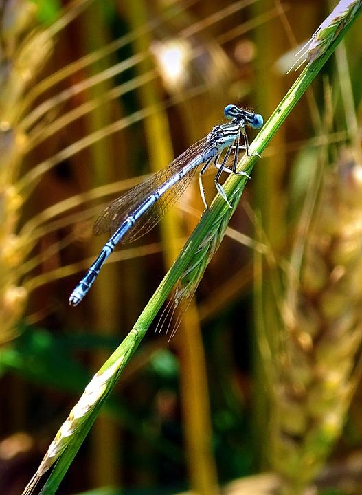 Dragonfly, Animal, Insect