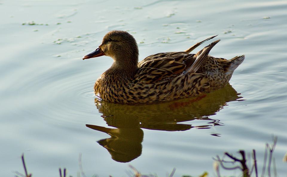 Duck, Animal, Nature, Water