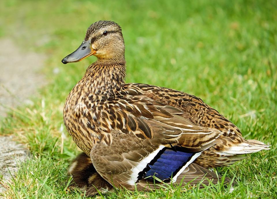 Duck, Animal, Water Bird, Meadow, Chicks, Sleep