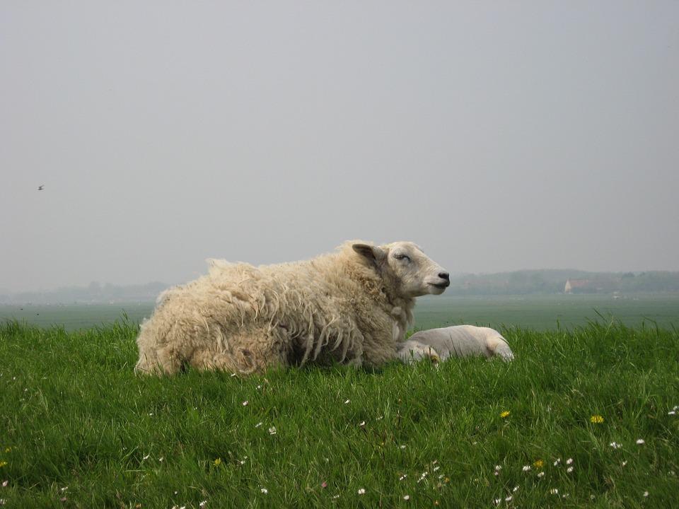Sheep, Lamb, Dyke, West Frisian, Animal