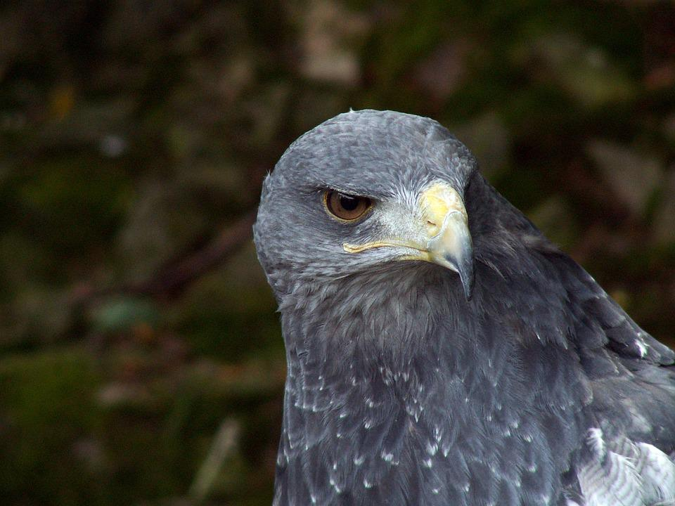 Eagle, Bird, Nature, Predator, Closeup, Animal, Beak
