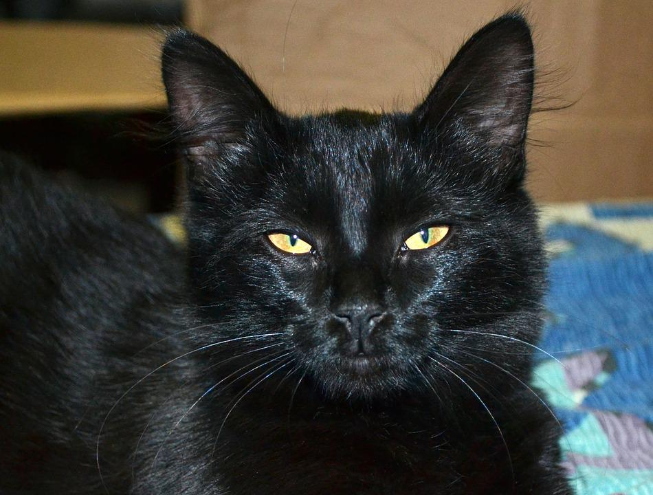 Cat, Black, Eyes, Ears, Animal
