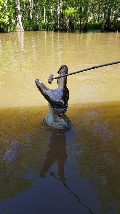 Swamp Tour, Swamp, Eat, New Orleans, Alligator, Animal