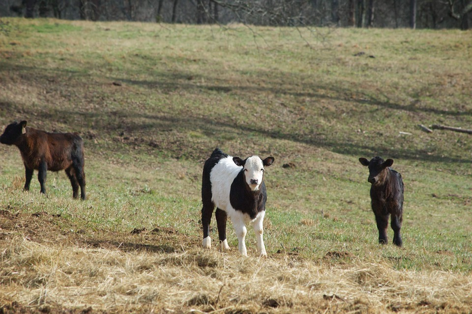 Cow, Calf, Agriculture, Animal, Cattle, Dairy, Eat