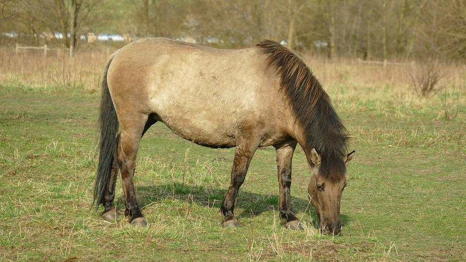 Horse, Dülmener, Grazing, Eat, Brown, Mammal, Animal