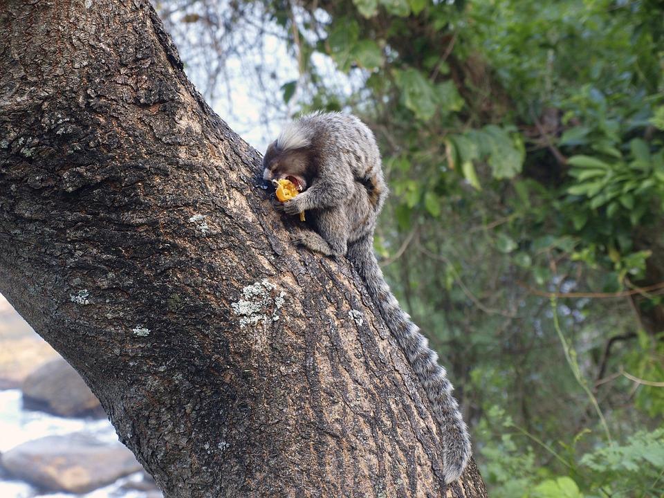 Monkey, Sagui, Wild Life, Animal Eating