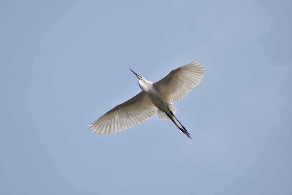 Animal, Sky, Bird, Wild Birds, Egret, Feathers, Wings