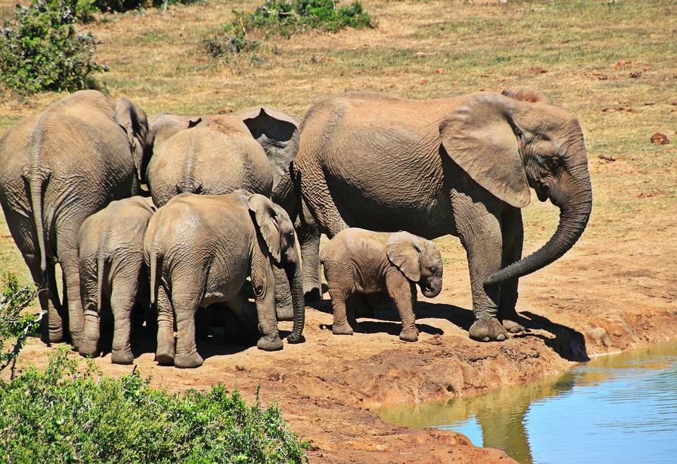 Elephant, Animal, Herd Of Elephants, Elephant Family
