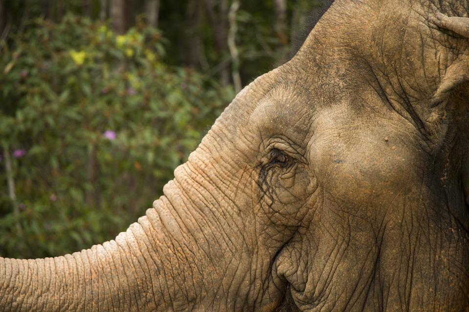 Elephant, Safari, Eyes, The Head Of The, Animal, Nature
