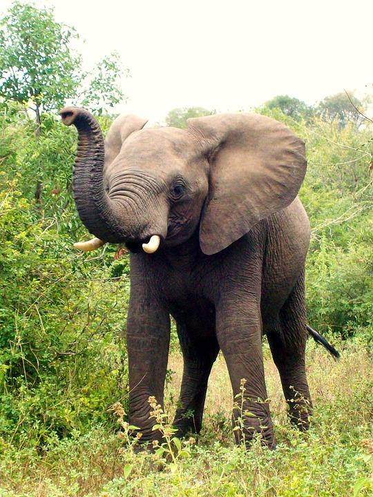 Africa, South Africa, Elephant, Elephant Calf, Animal