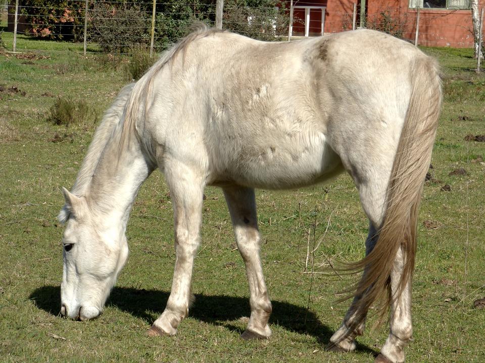 Equine, Dapple, Eating, Animal, Four Legged