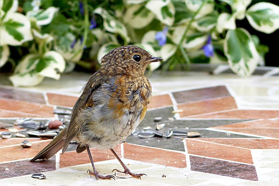 Animal, Bird, Robin, Erithacus Rubecula, Young